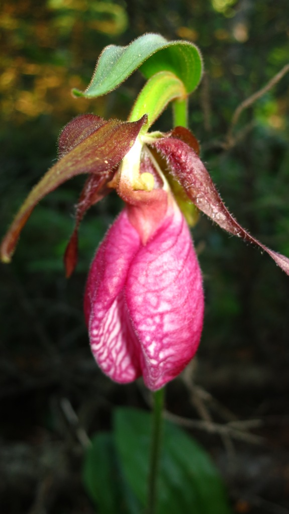 Ladyslipper, Isle Royale. 2012 (photo Susan Lee)